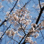 令和3年3月26日 薄墨桜が咲いています