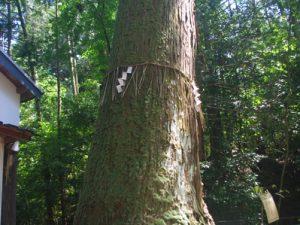 御神木 杉